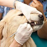 Ветеринарная стоматология