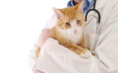 Кастрация кота и стерилизация кошки