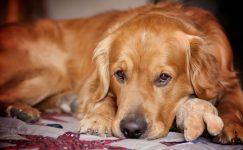 Ложная щенность или ложная беременность у собаки