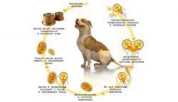 Лямблиоз собак и кошек - цикл развития лямблий