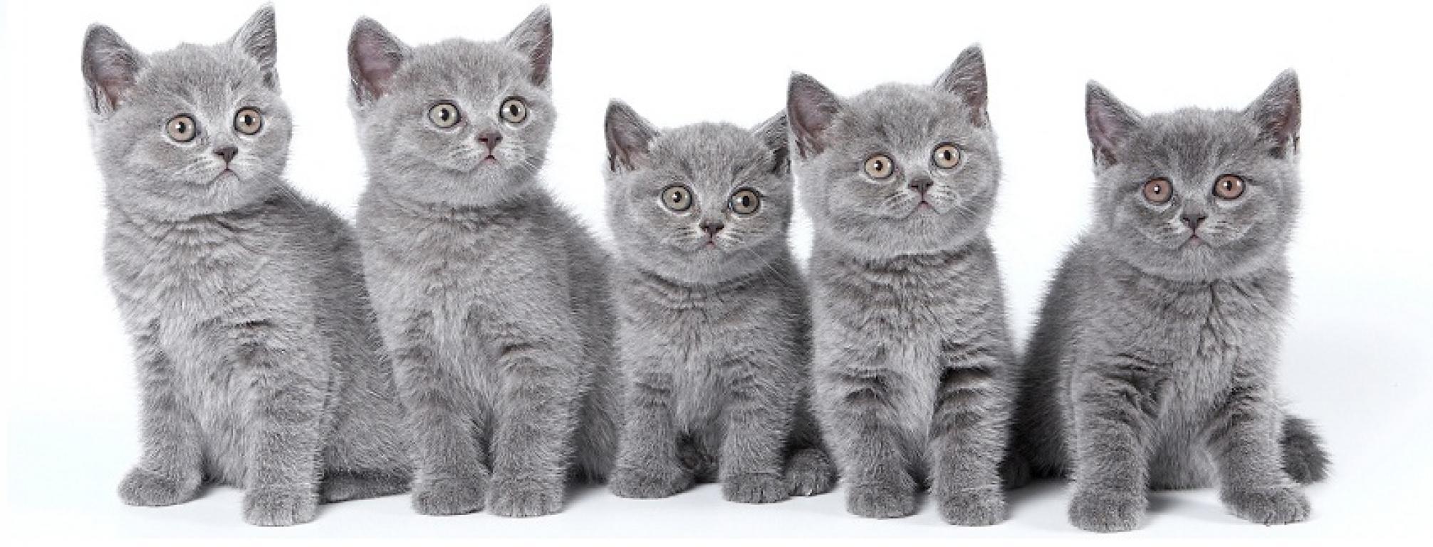 Правильное питание - залог здоровья и правильного развития котят