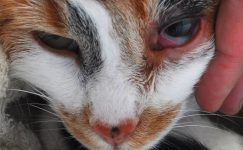 Хламидиоз кошек