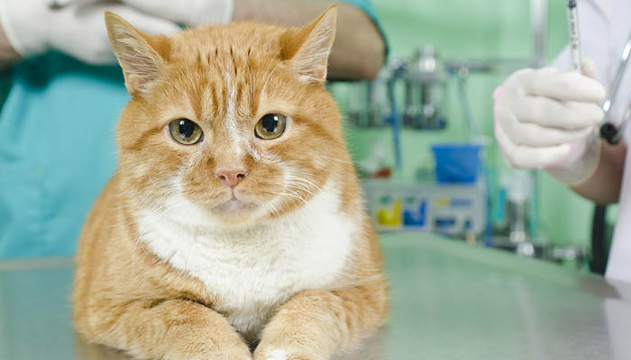 Стерилизация кошек (овариогистерэктомия кошек)