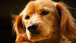 Горячий и сухой нос у собаки