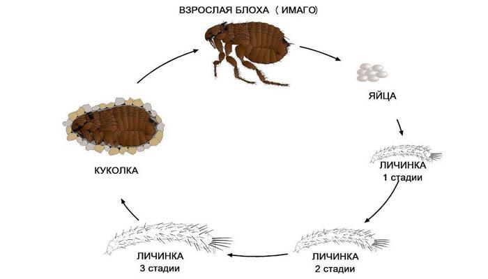 цикл развития блох