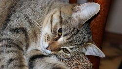 Рвота у кошек